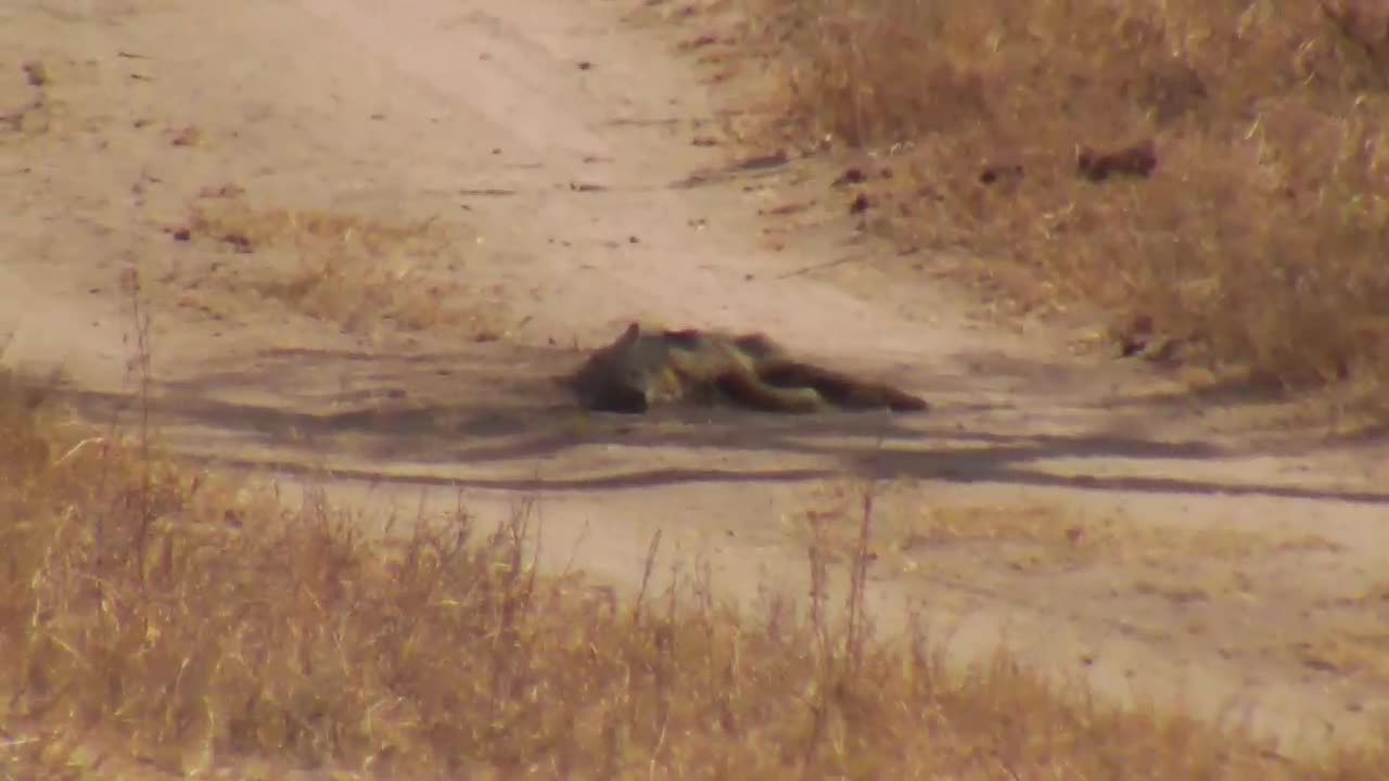 VIDEO: Jackal resting in the shade