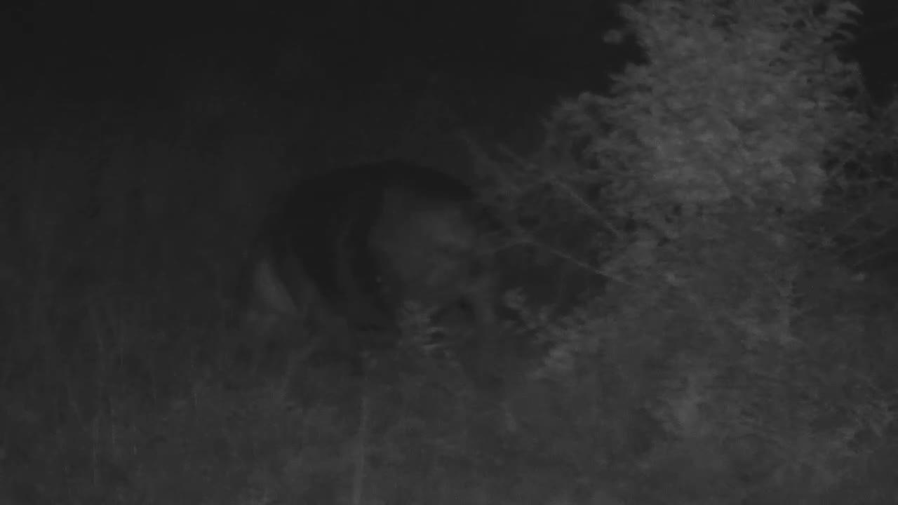 VIDEO: Hippo grazing near the microphone