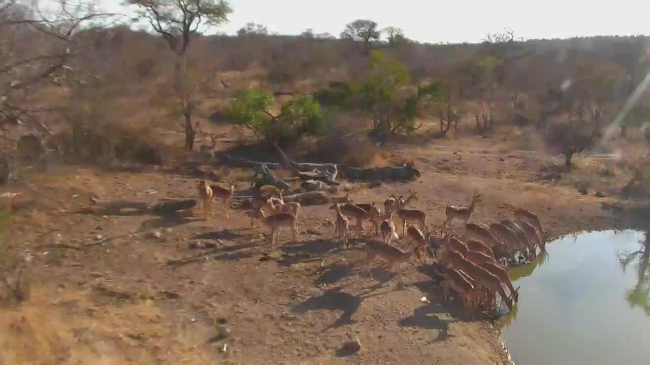 VIDEO:A lot of Impalas coming for a drink