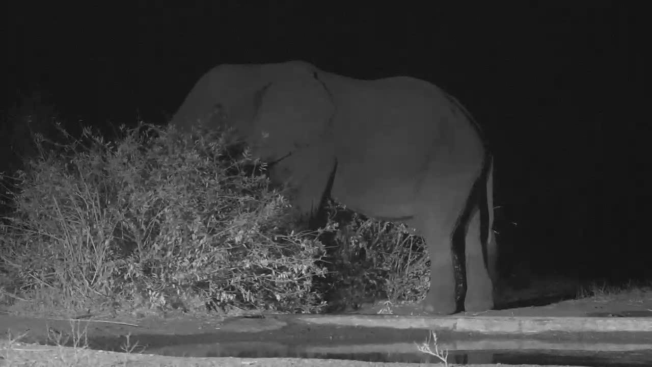 VIDEO:Bull Elephant Having a Drink and Enjoying the Bush