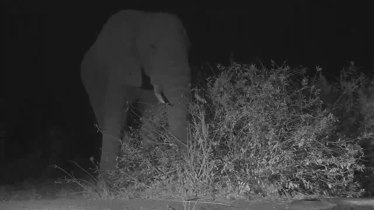 VIDEO:Bull Elephant Eating at the Bush