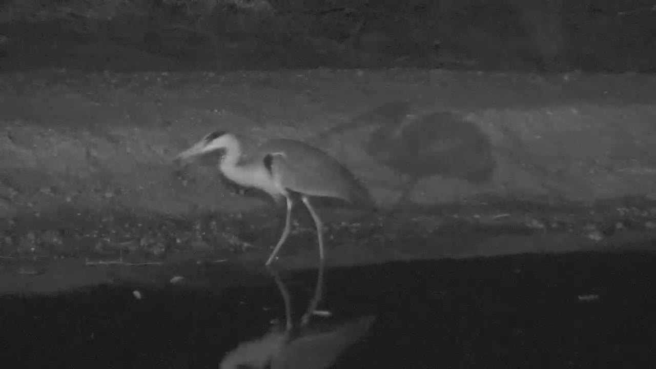 VIDEO: Grey Heron catches a frog and eats it