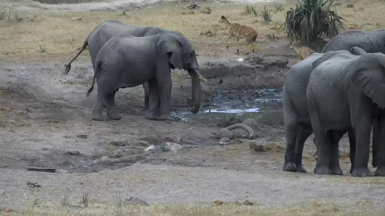 VIDEO: Elephants - a bit astonished - there is no fresh water today