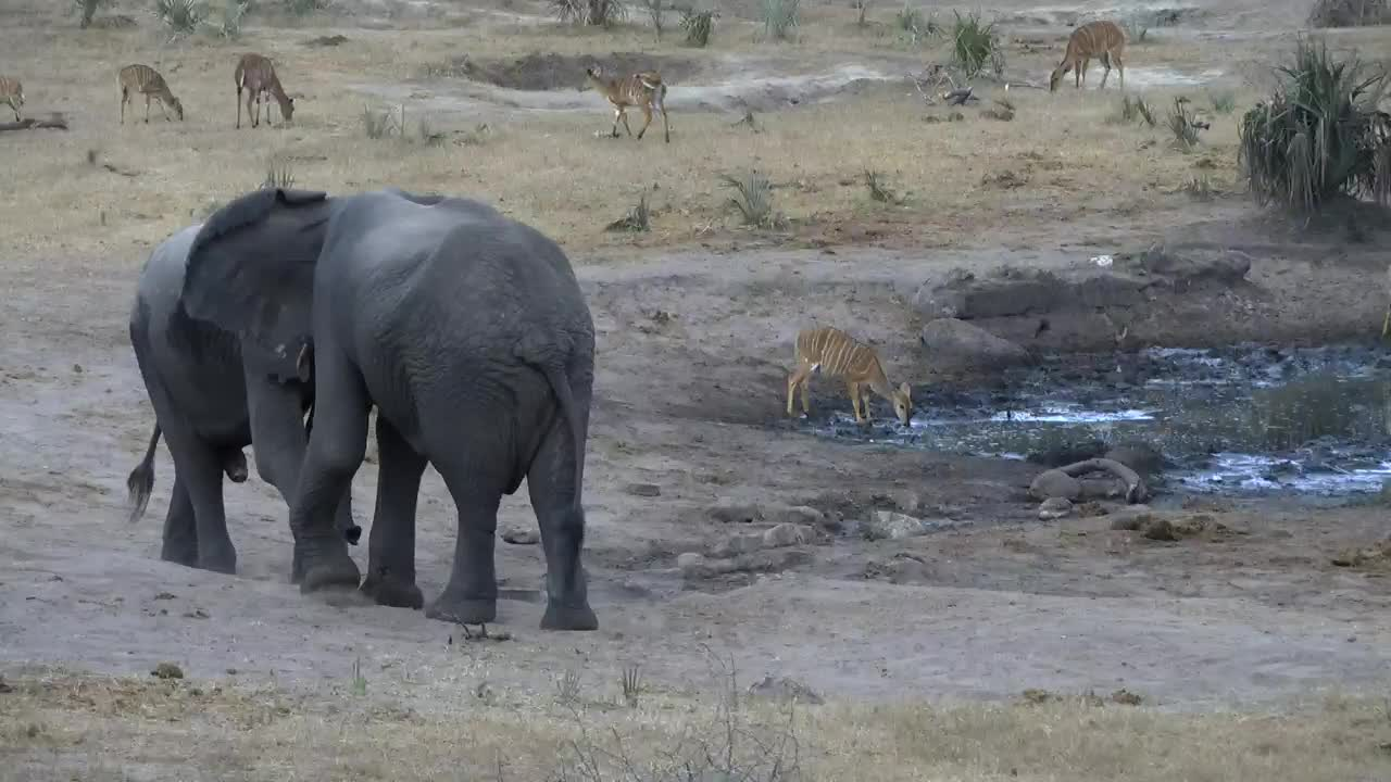VIDEO: Elephants wrangling and Nyalas try to get some water