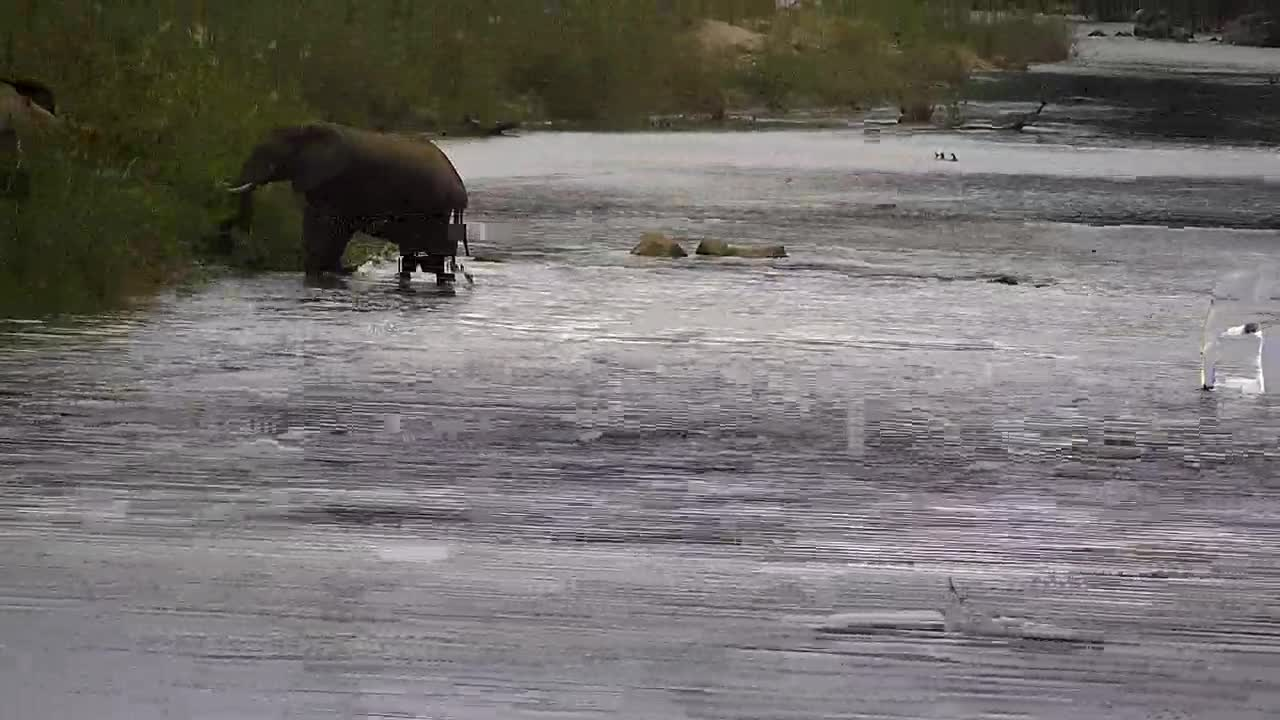 VIDEO: Elephants crossing the river and eating some reed on the opposite side