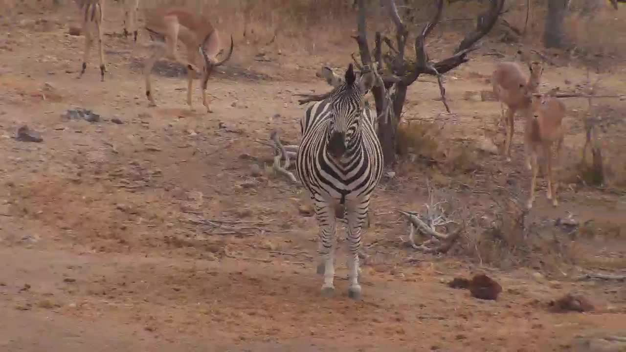 VIDEO: Zebras and Impalas - very attentive - came to the waterhole to drink