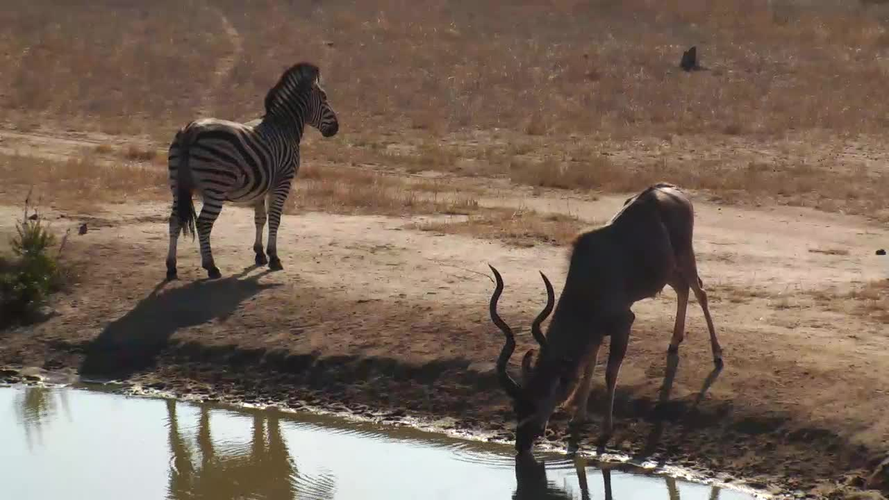 VIDEO: A magnificent Kudu Bull and some Zebras came for a short drink to the waterhole.