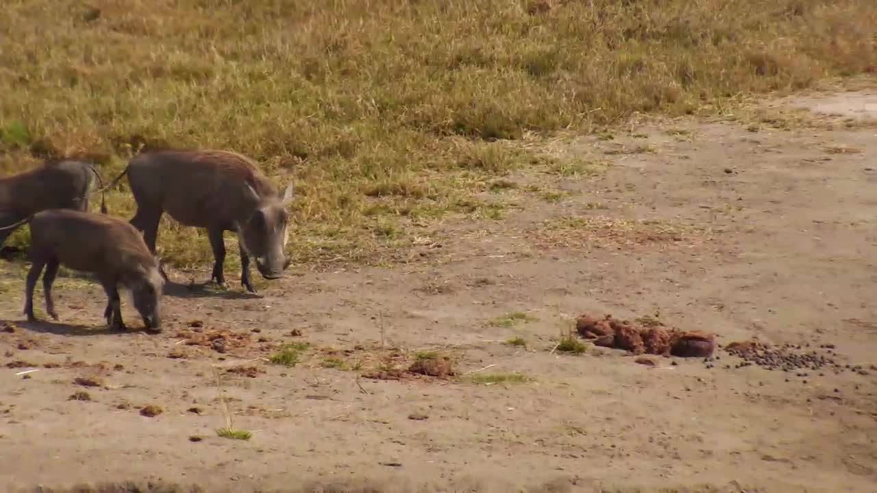 VIDEO: Warthog family enjoy grass and Elephant Dung at the shore of the waterhole