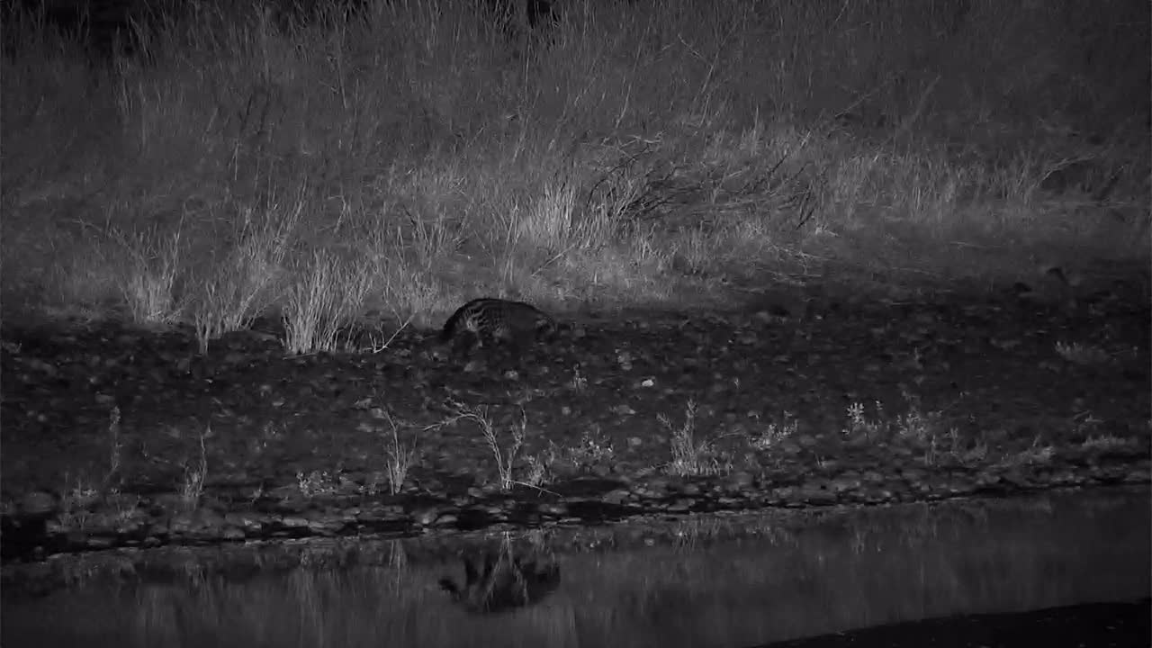 VIDEO:.African Civet Snuffling Along the Riverbank