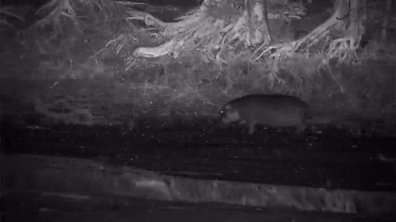 VIDEO: Hippopotamus walking along the river