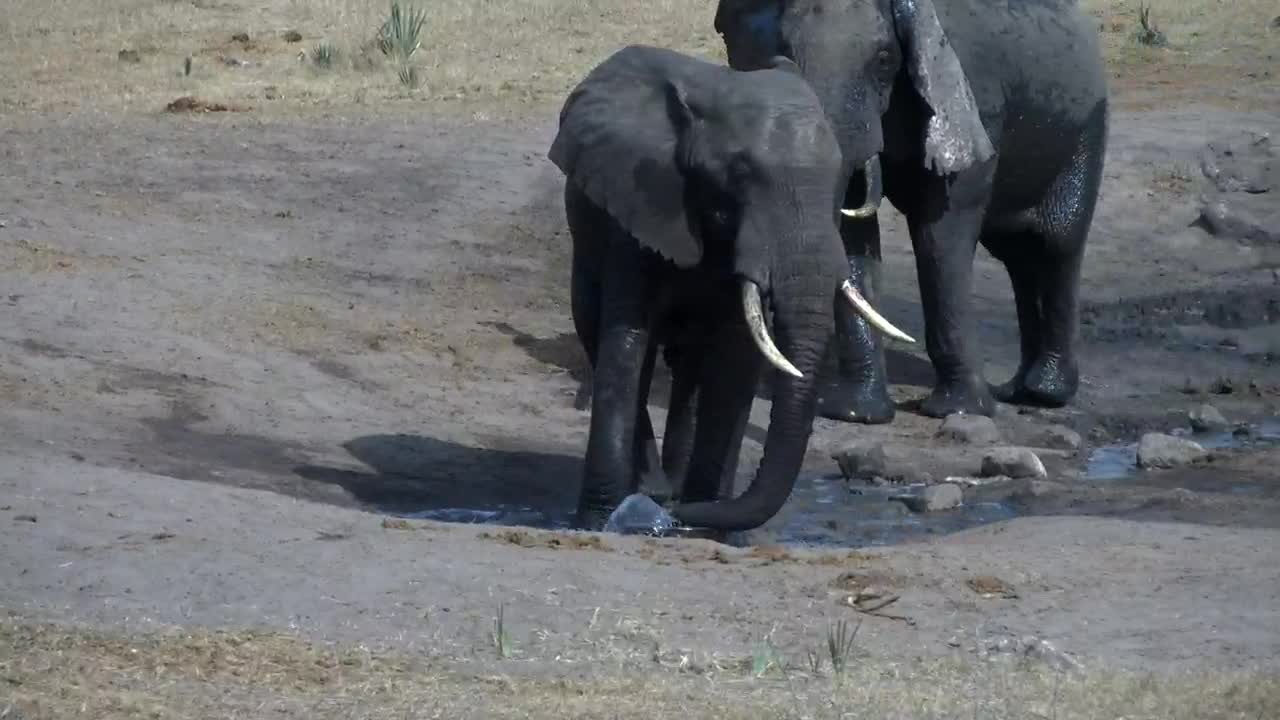 VIDEO: Elephants - playing with the water pipe, pushing each other and at last they all get fresh water