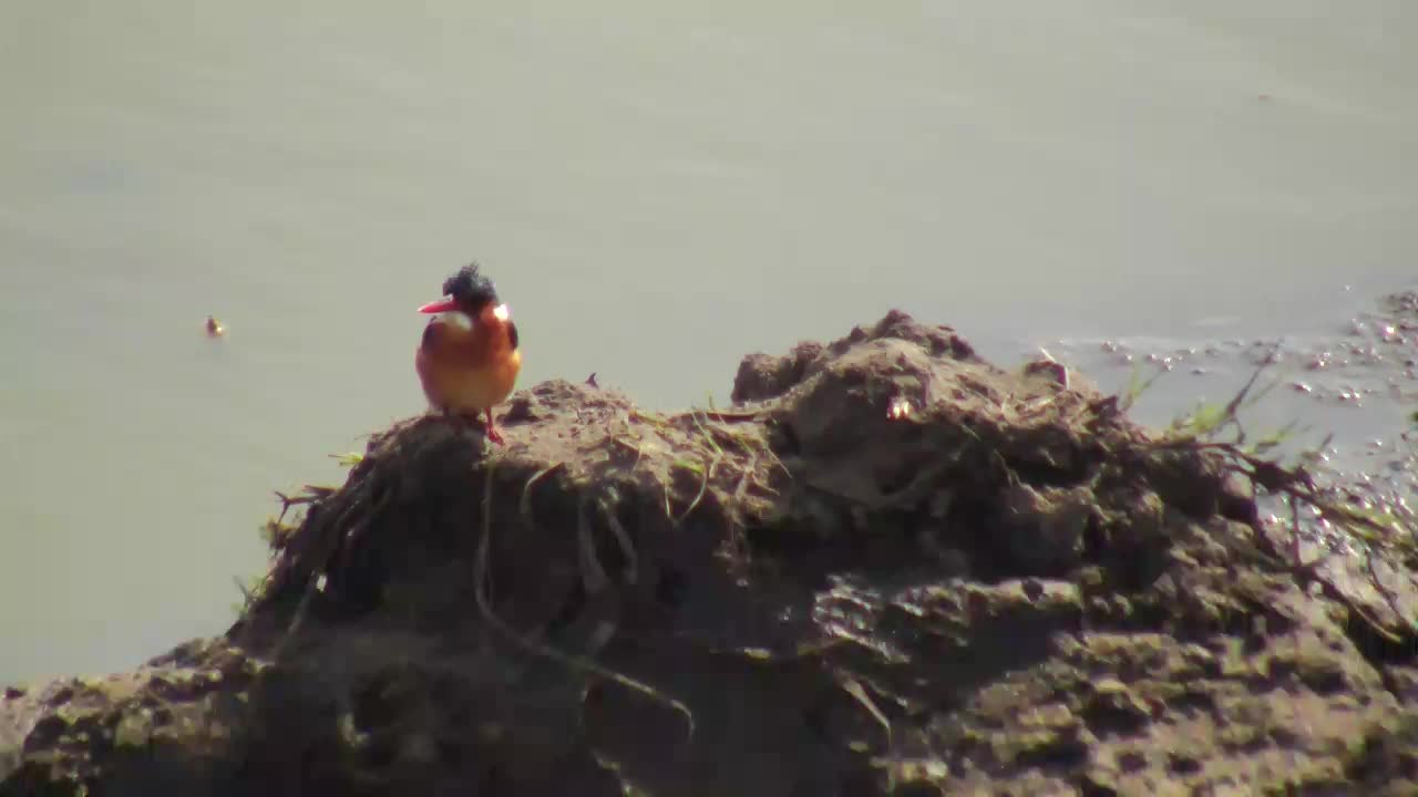 VIDEO: Malachite Kingfisher searching for food