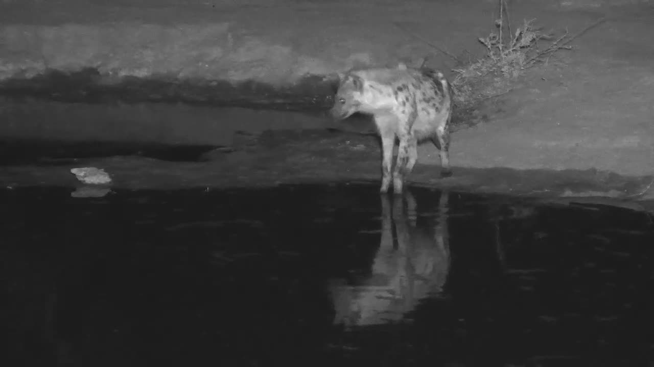 VIDEO: Hyaena came for a quick drink to the waterhole