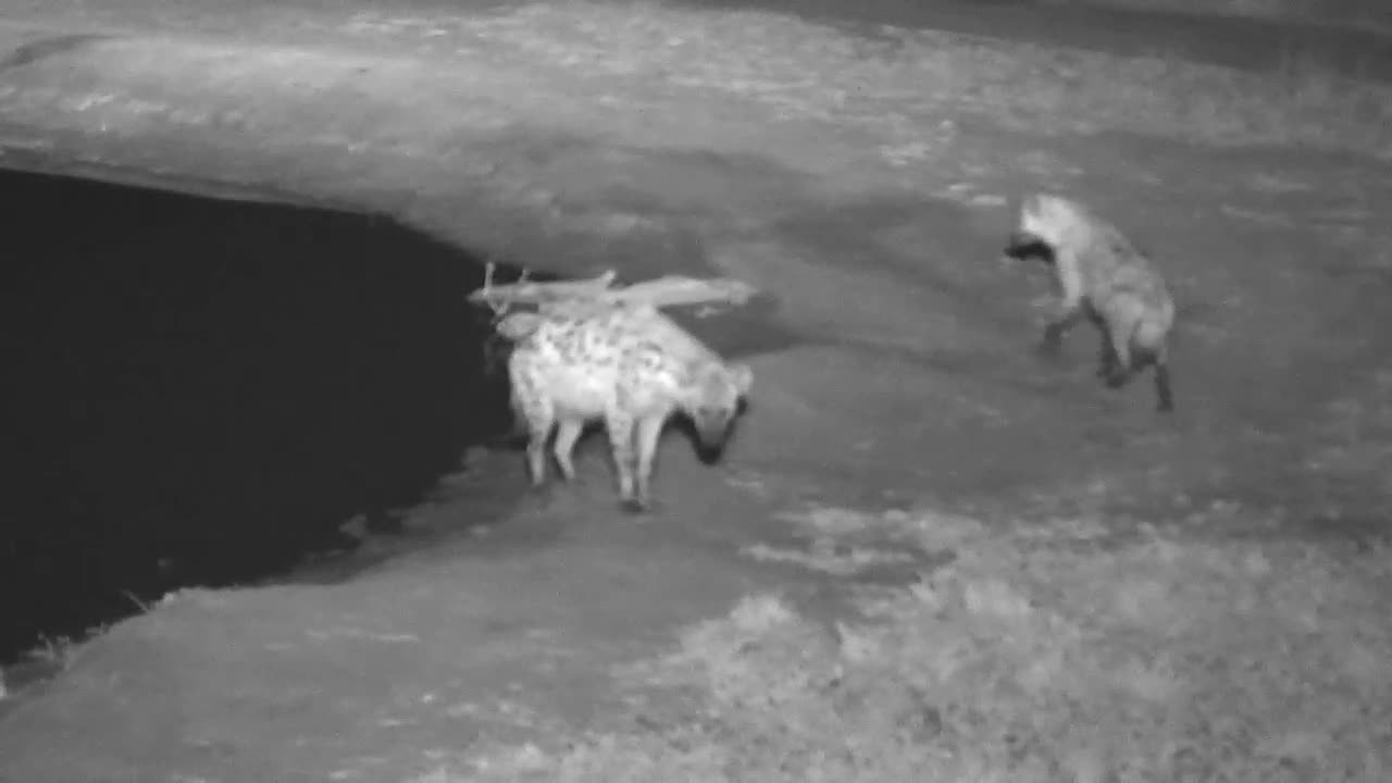 VIDEO:Three Hyaenas gather at the waterhole