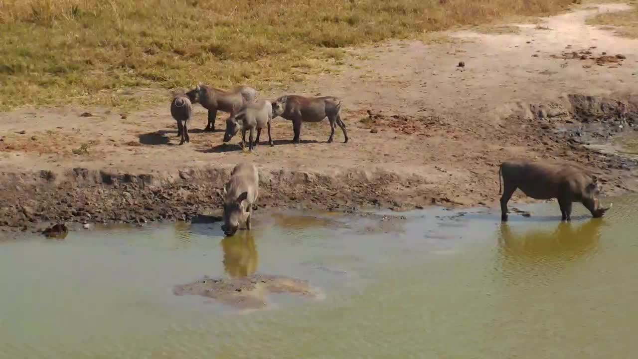 VIDEO: Warthog Family - very alert - came for a short drink to the waterhole