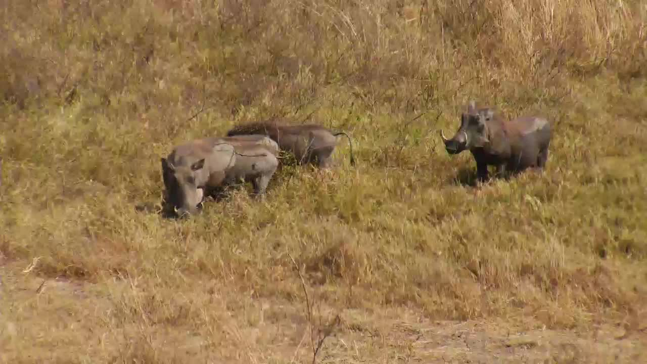 VIDEO: Warthog family - after a short mud bath off to grazing