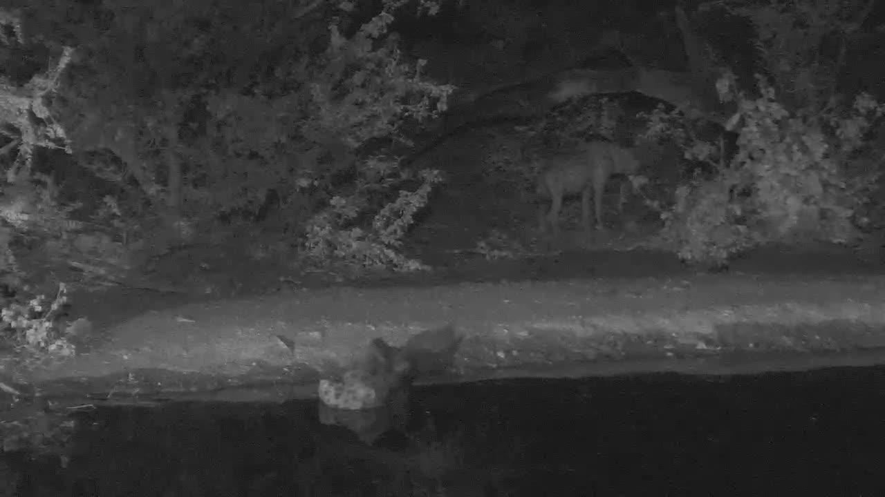 VIDEO:  Hyaenas at Naledi