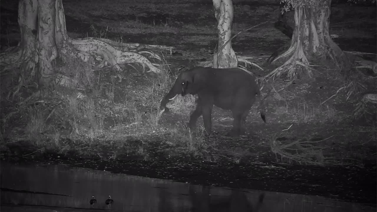 VIDEO:  Elephant grazing along the river bank