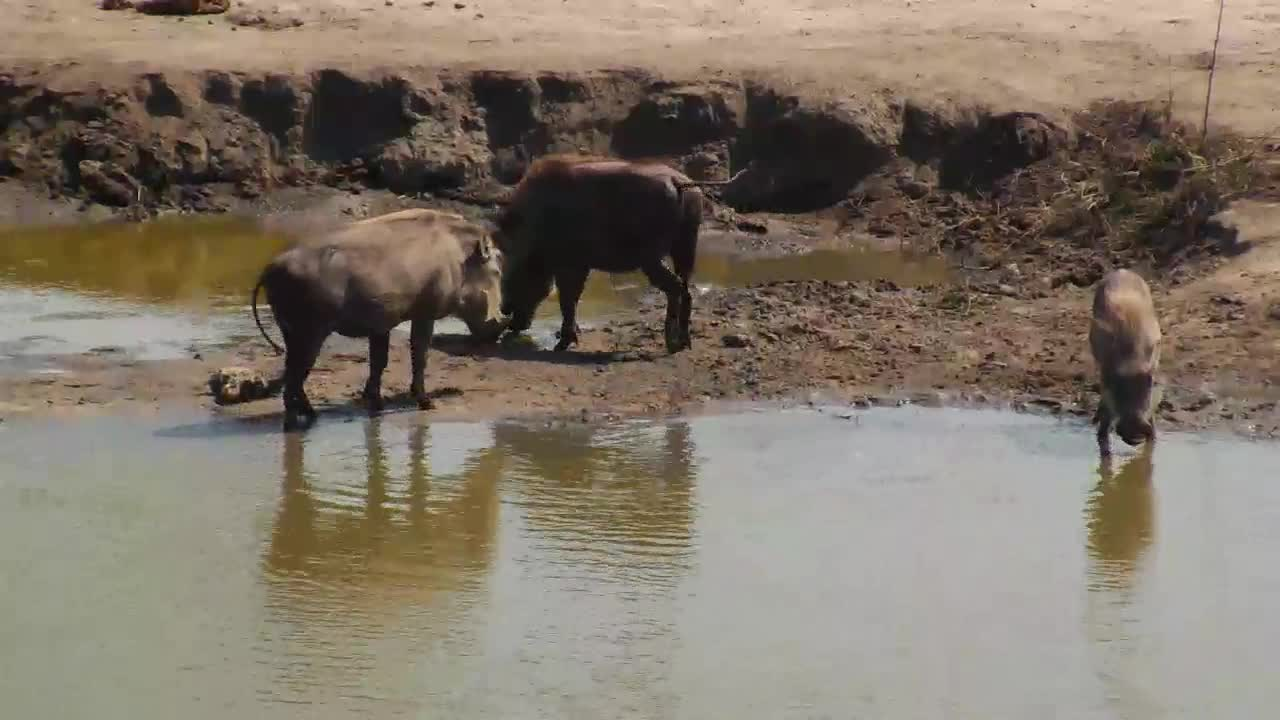 VIDEO: Warthog Family enjoy the water - drinking, bathing, wallowing
