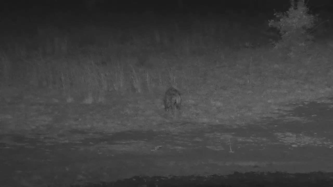 VIDEO:  Hyaena takes a quick drink