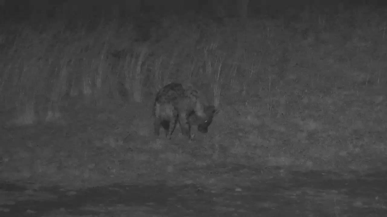 VIDEO: Hyaena finds something