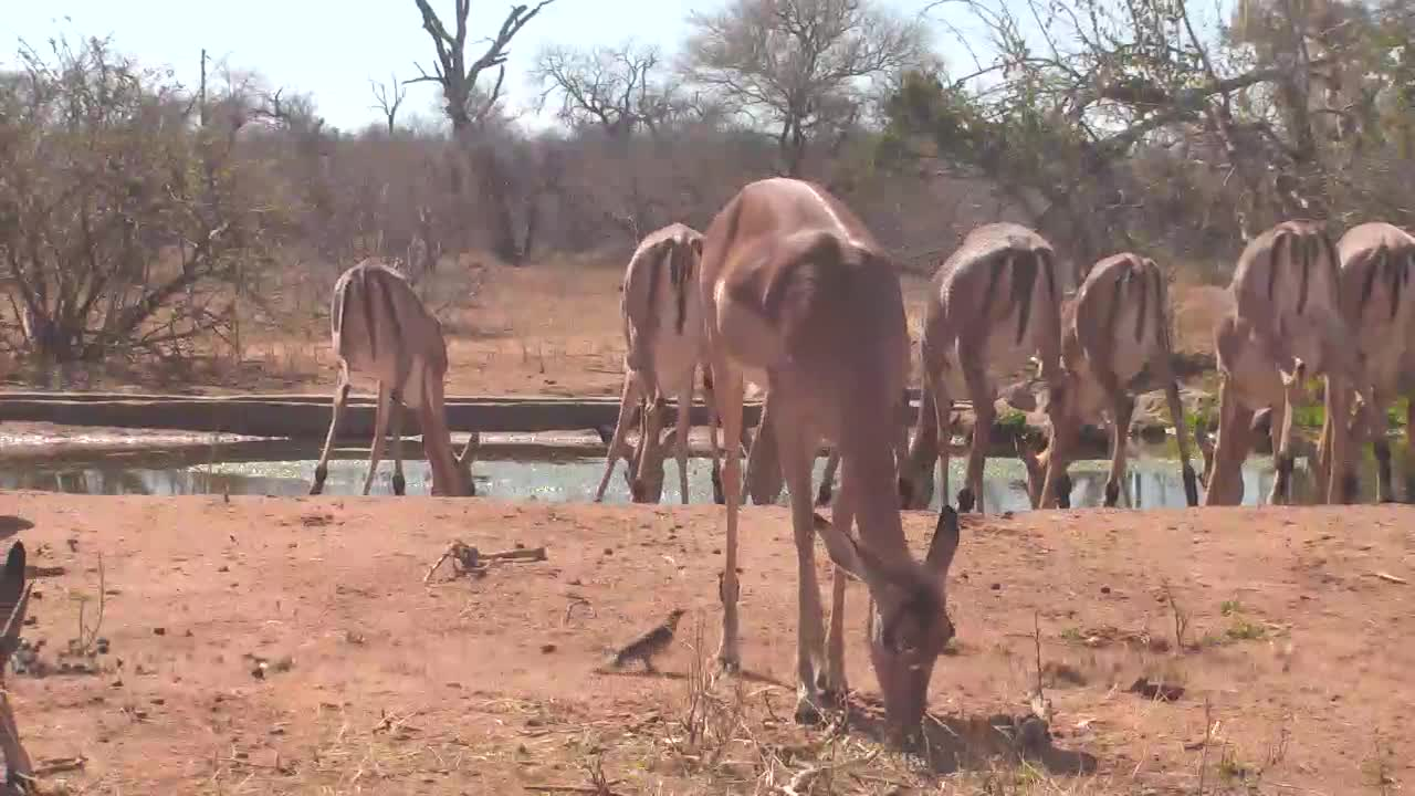 VIDEO: Lots of Impala coming for a drink