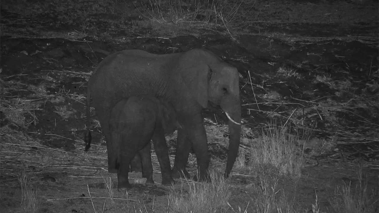VIDEO:  Young Elephant nursing