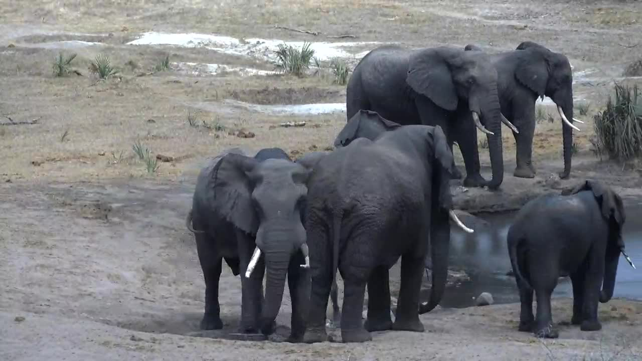 VIDEO: Elephants resting and some waiting for fresh water