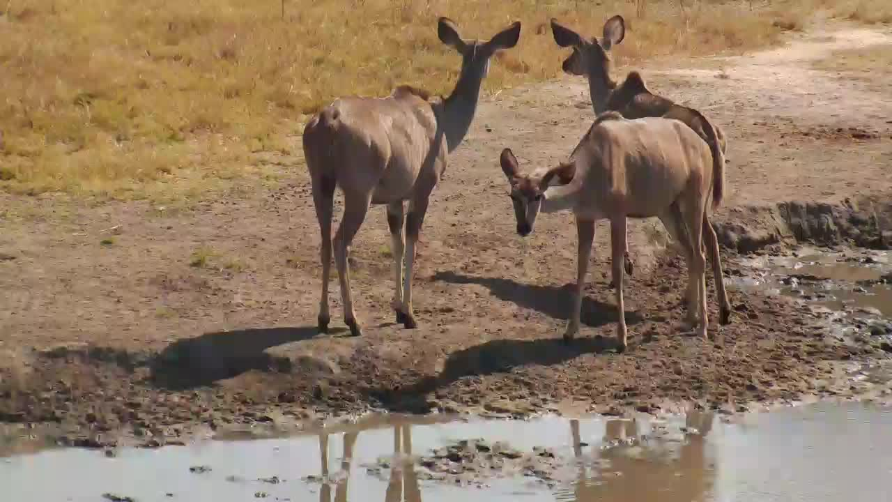 VIDEO: Kudu - very attentive - try to get some water, but decide to eat some leaves