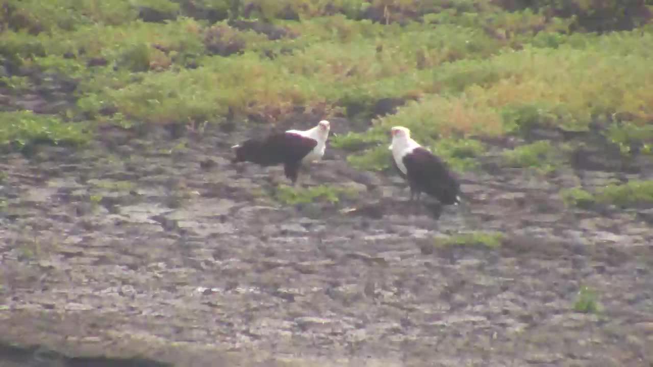 VIDEO: African Fish Eagles having breakfast at Idube