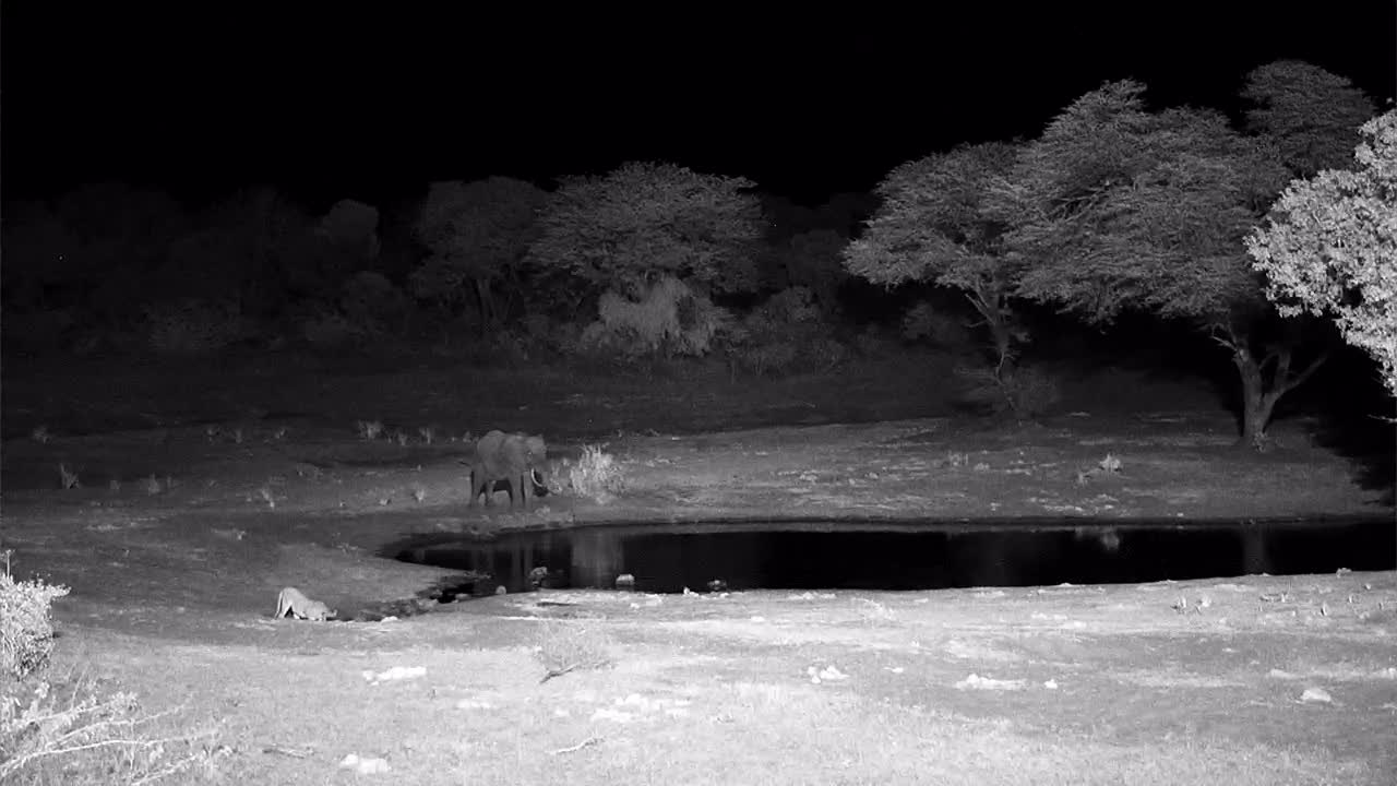 VIDEO:  Lion having a quick drink