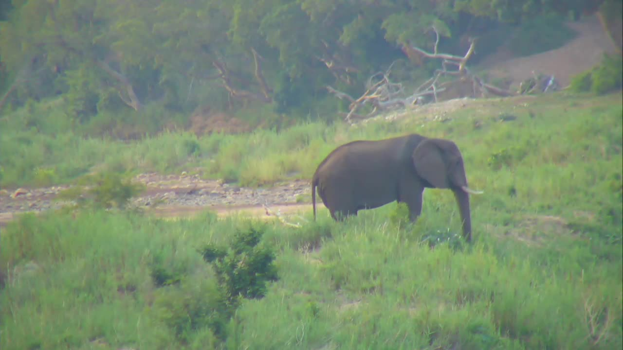 VIDEO: Elephant grazing in the afternoon light
