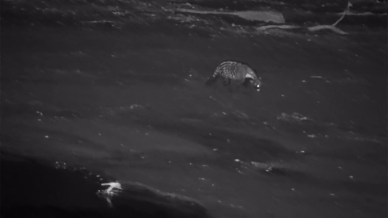 VIDEO:  Civet searching for food on the sandbar
