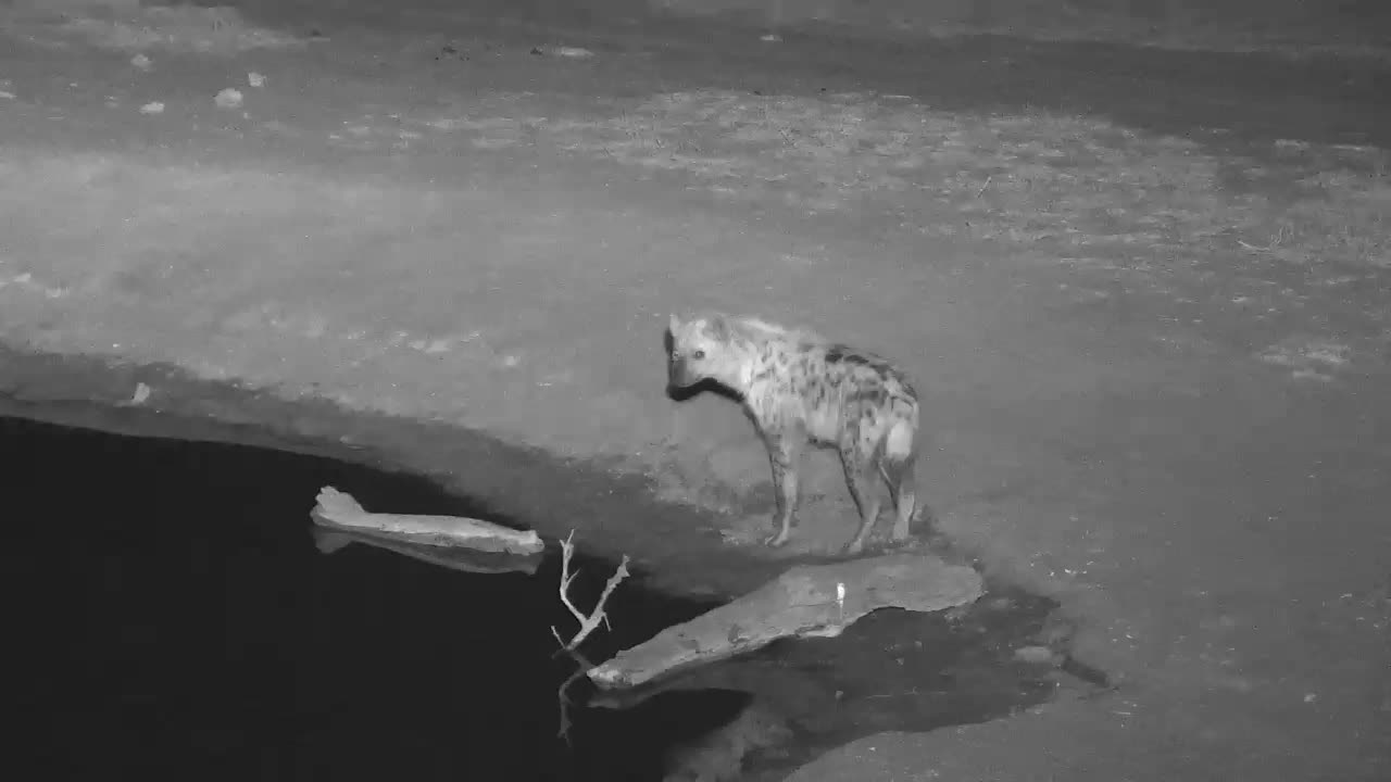 VIDEO:  Hyaena quick stop, dink and moving on