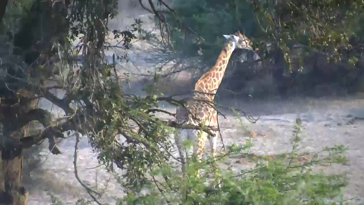 VIDEO: Very attentive Giraffe tries to get some water