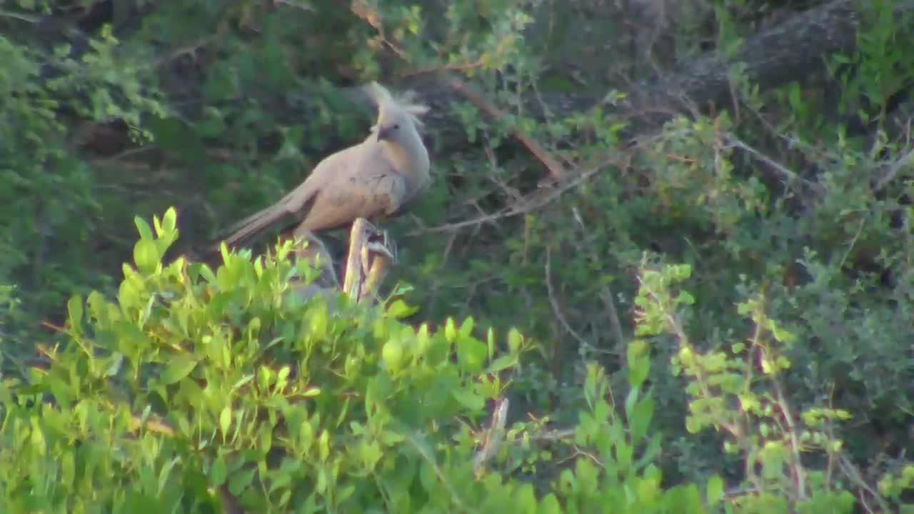 VIDEO: Grey Louries / Grey go away Birds feather care