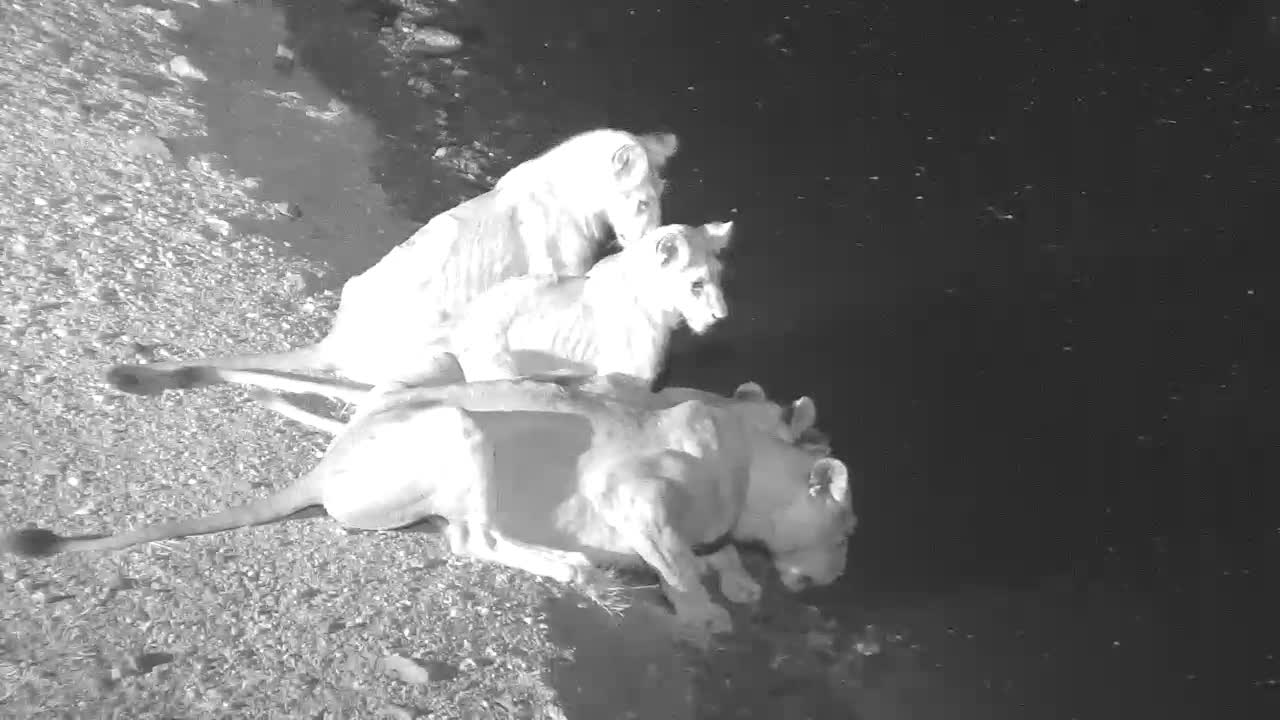 VIDEO:  Female Lion with her 3 youngsters having a drink and looking around