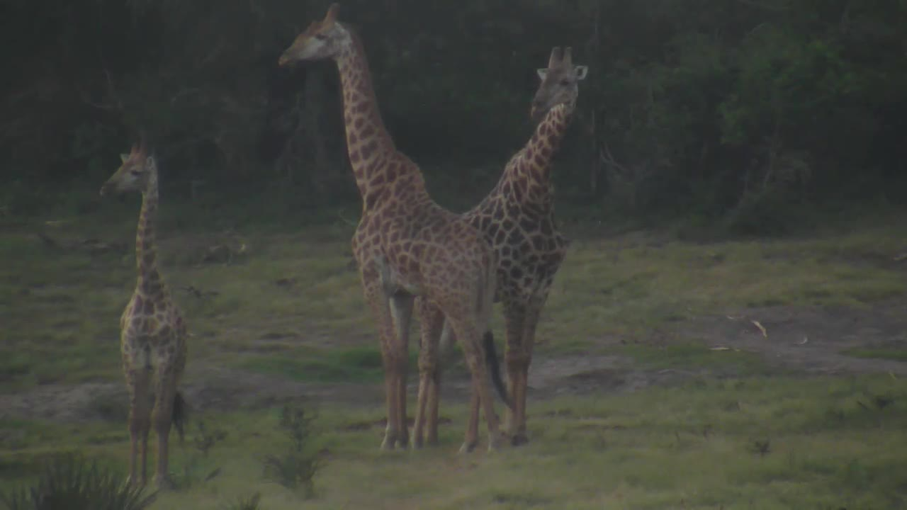 VIDEO: Giraffes in the early evening light