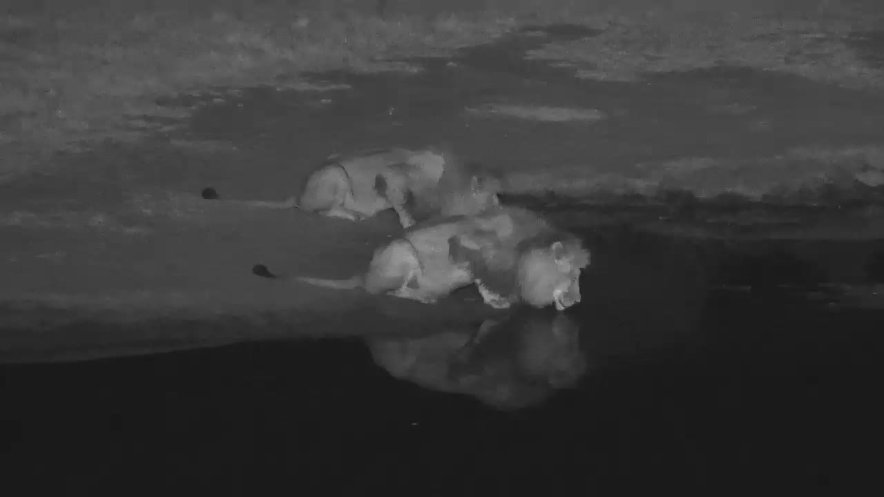 VIDEO: Two Lion Males came for an extensive drink to the waterhole