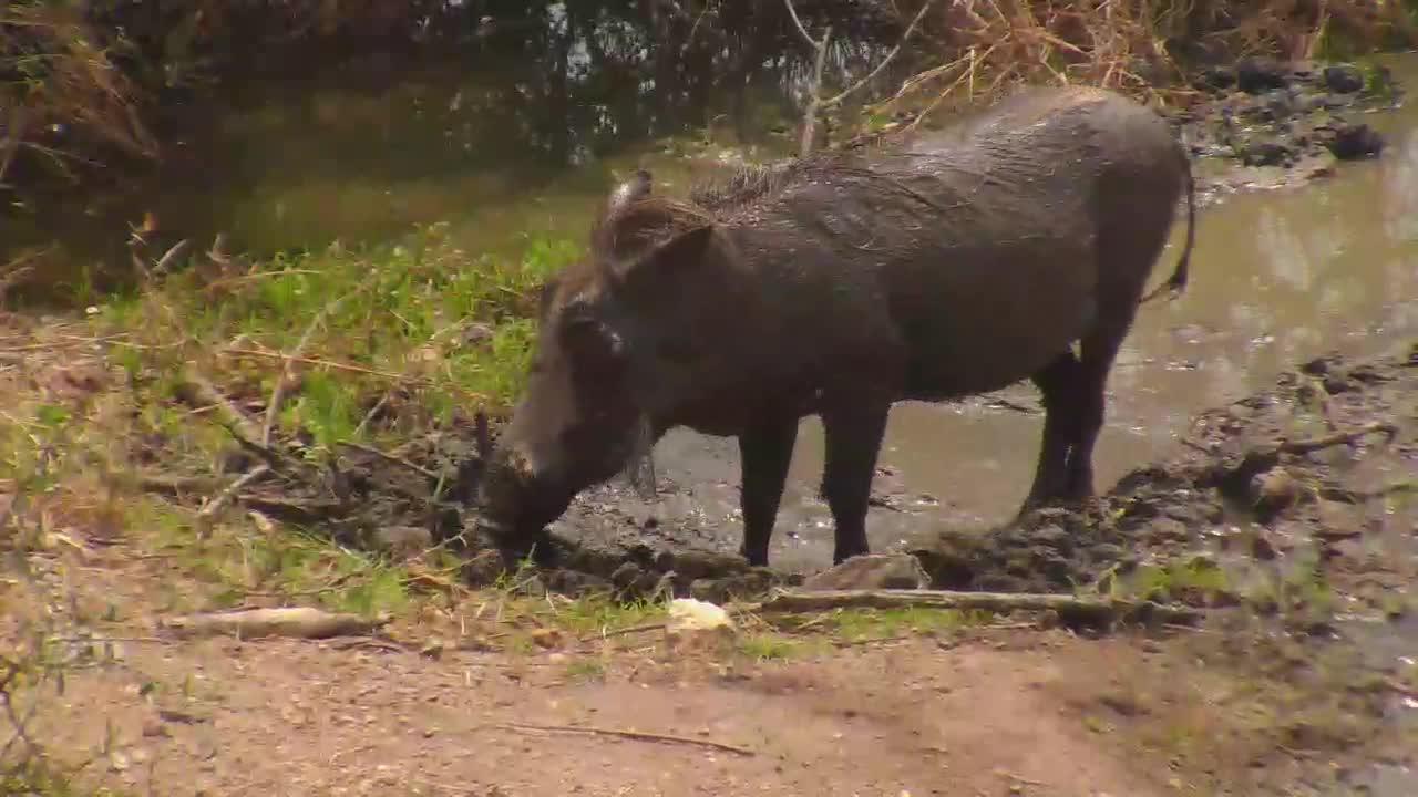 VIDEO: Warthog enjoys the mud