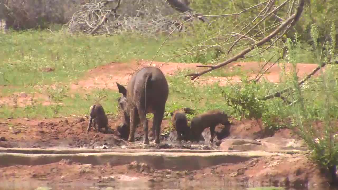 VIDEO: Warthog Mom and Piglets enjoy the water