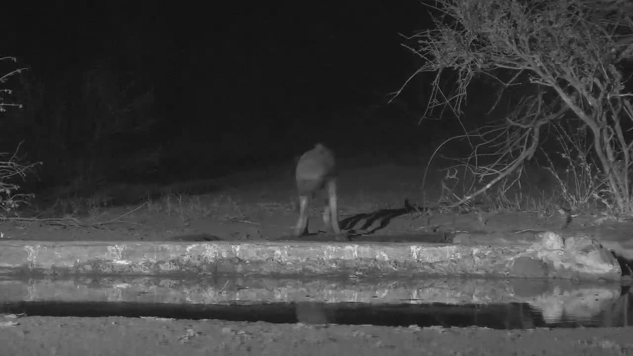 VIDEO: Hyaena drinks shortly and sniffs around and disappears again in the dark