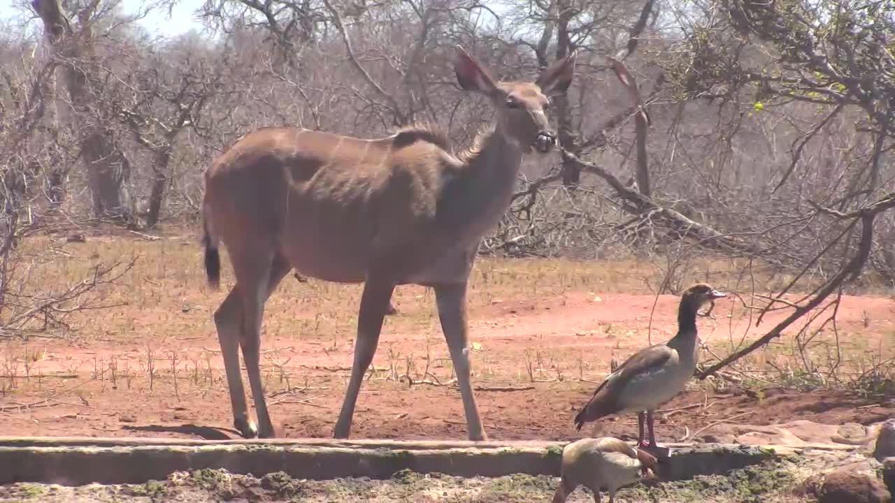 VIDEO: Kudu drinks and enjoys the fresh shoots of the shrub