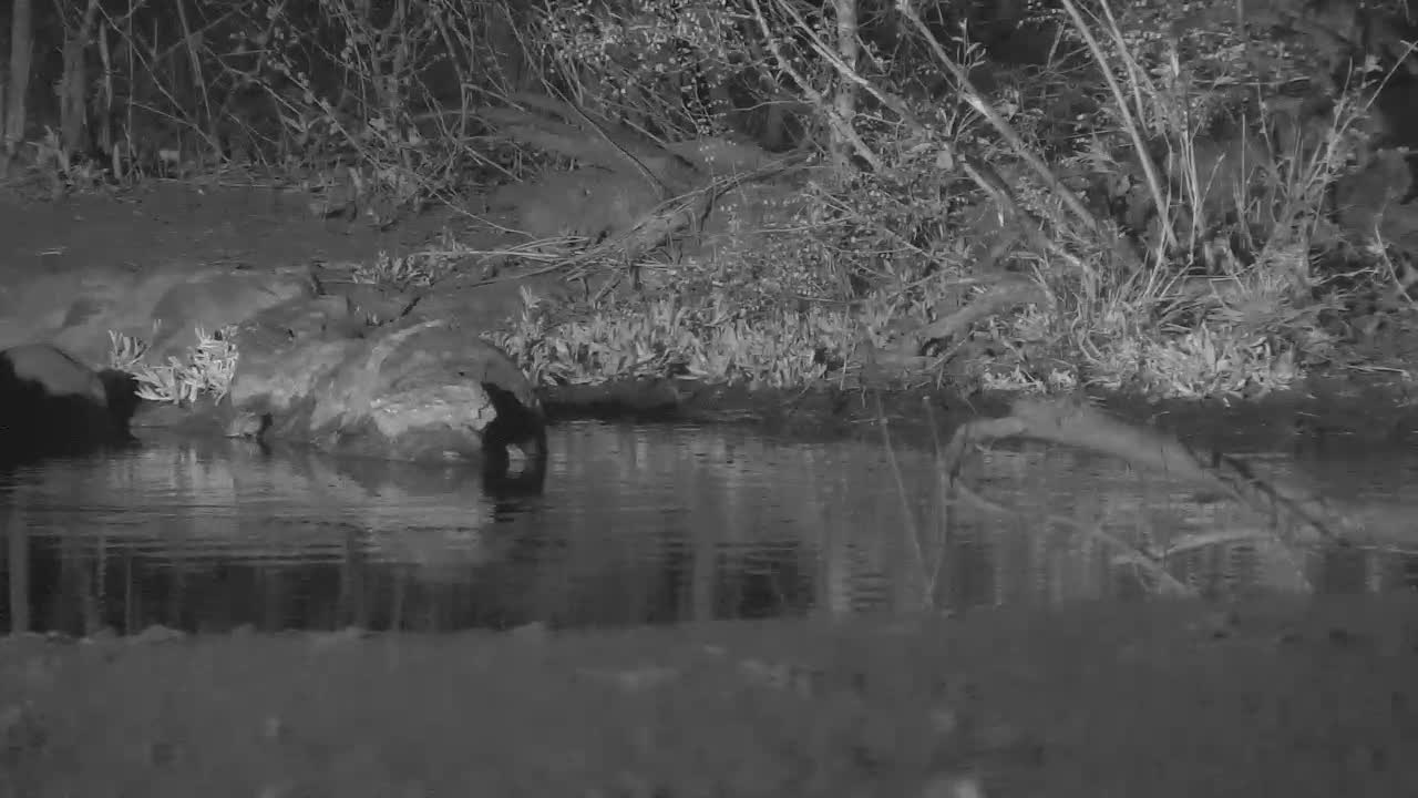 VIDEO: Toads are very busy with enlarging their orchestra