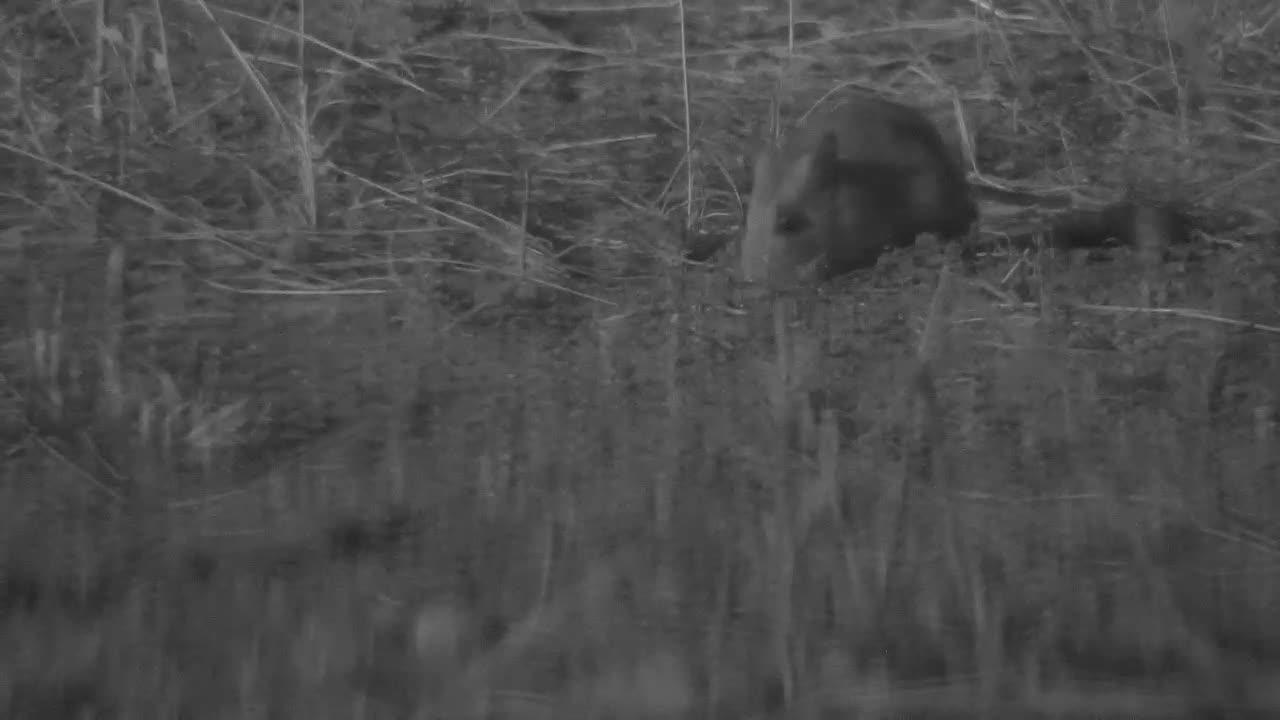 VIDEO: Gerbil searching for food in the area next the waterhole