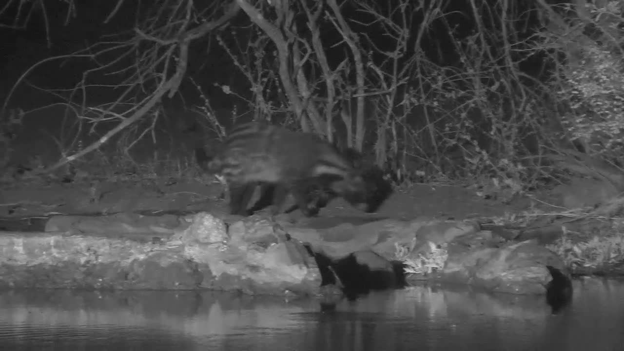 VIDEO: Civet sniffs around takes a short drink and went off into the thicket