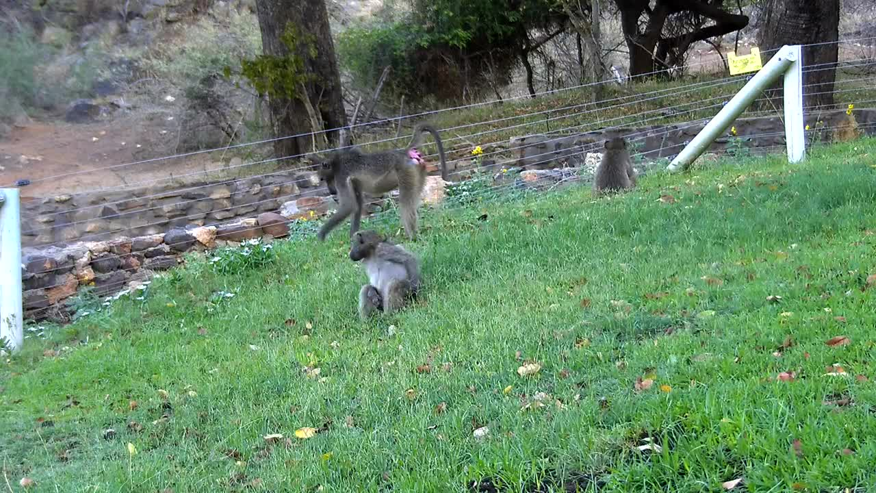 VIDEO: Baboons enjoy the fresh green from the lawn