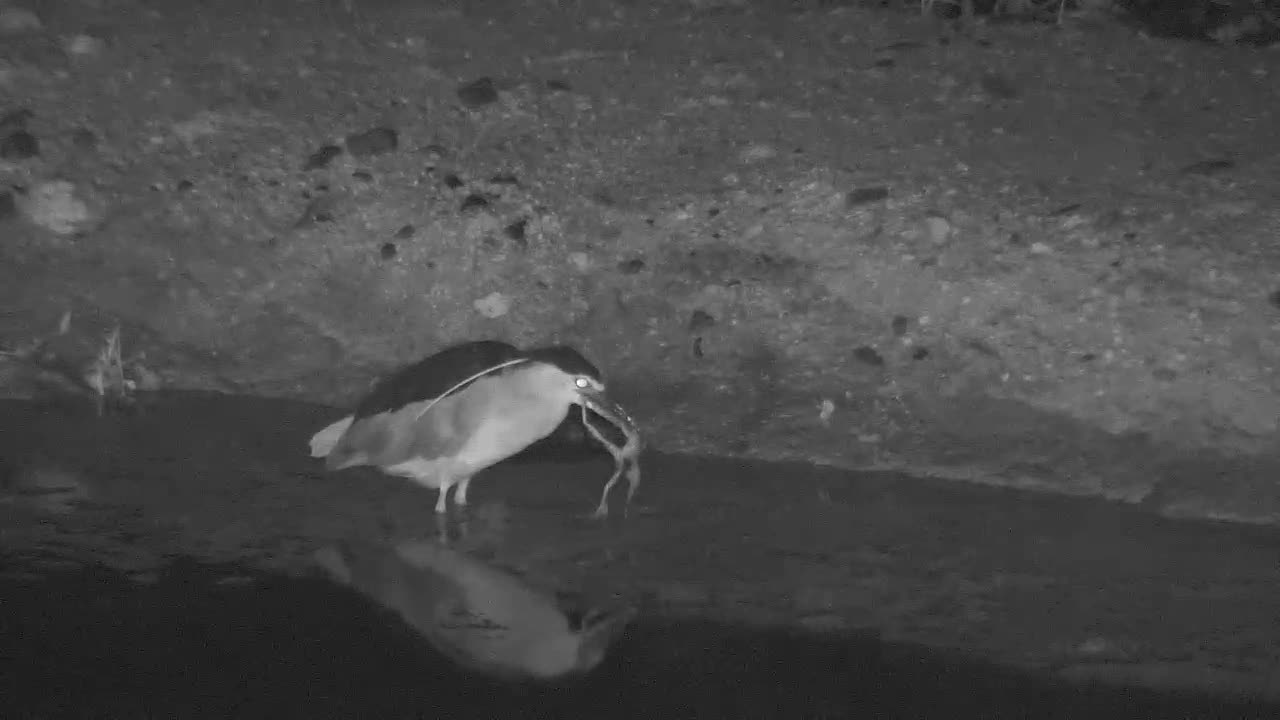 VIDEO:  Black Crowned Night Heron caught a frog.