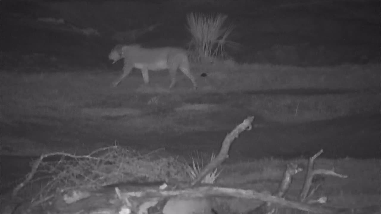 VIDEO: Lioness on her walk into the bushes