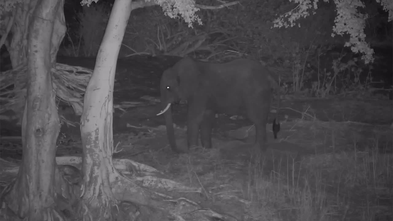 VIDEO:  Elephant using his foot to dig for roots